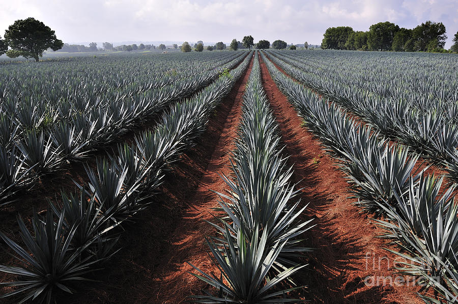 Guadalajara Photograph - Agave Field For Tequila Production by T Photography