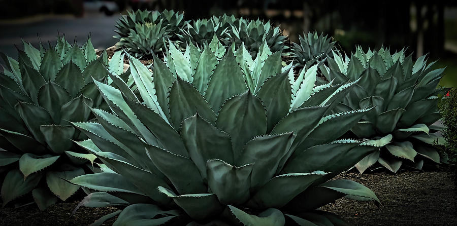 Agave Plants In Round Rock Tx Photograph By Faith Burns