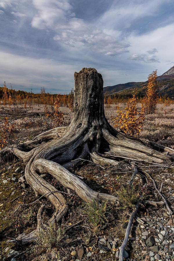Alaska Photograph - Age-old Stump by Fred Denner