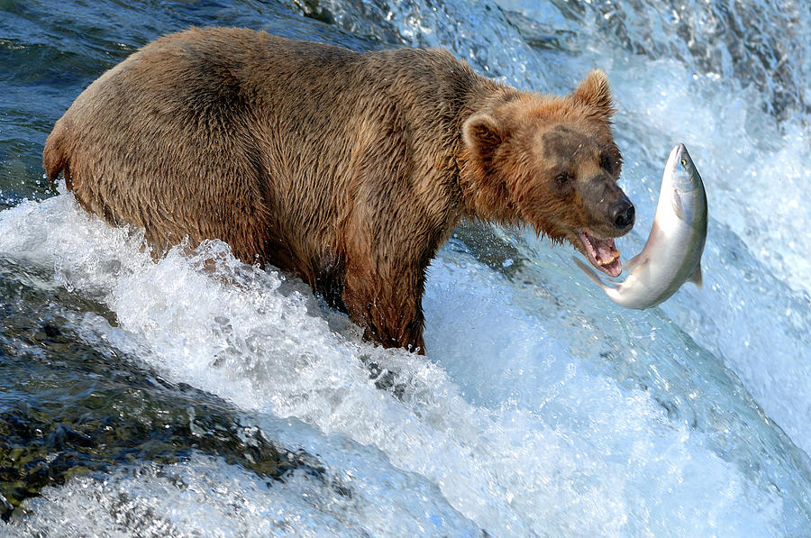 Brown Bear Photograph - Alaska Brown Bear Catching Salmon by Mit4711