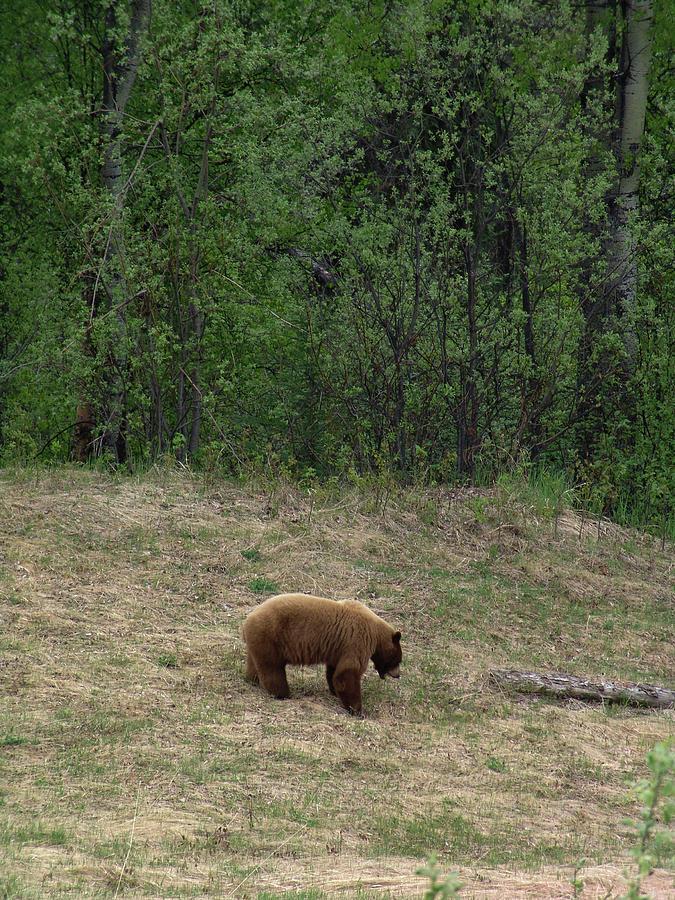 Alaska Highway Brown Bear by Robert Braley