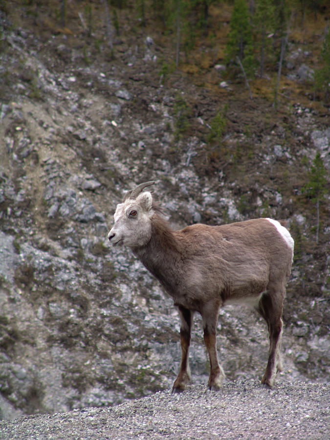 Alaska Highway Stone Mountain Sheep by Robert Braley