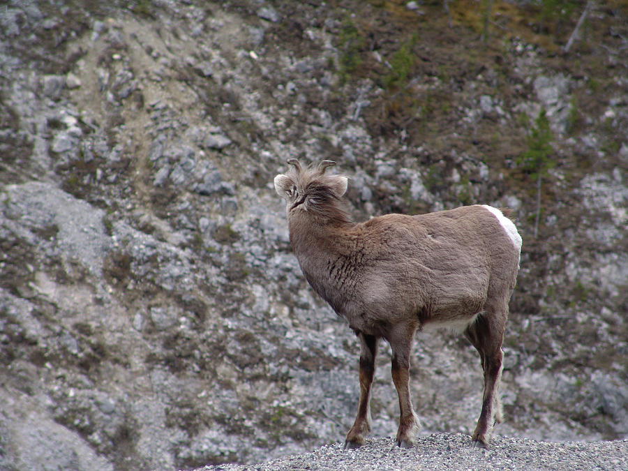 Alaska Highway Stone Sheep by Robert Braley