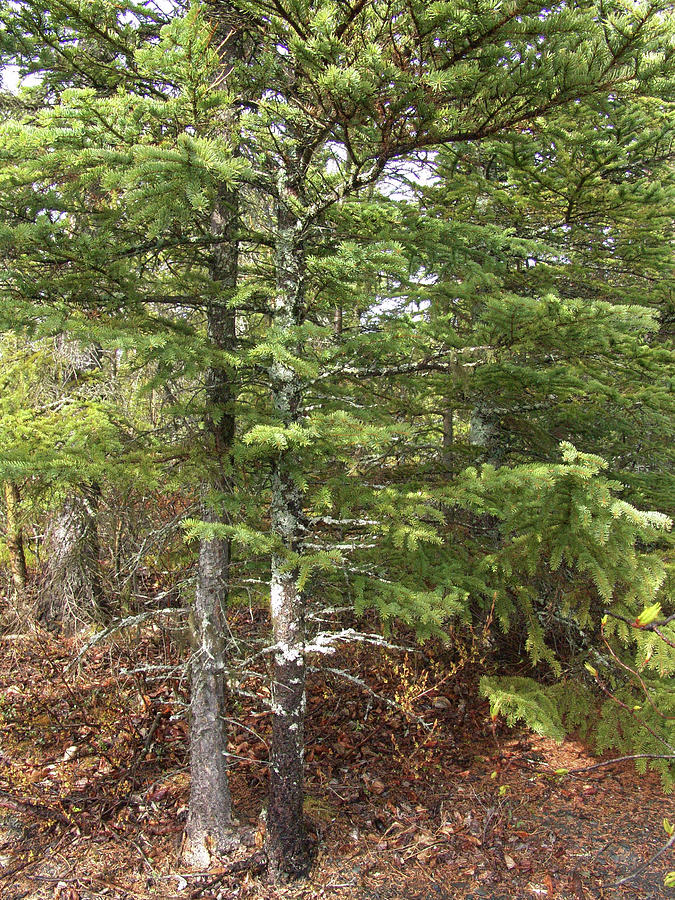 Alaska Spring Evergreen Tree Photograph
