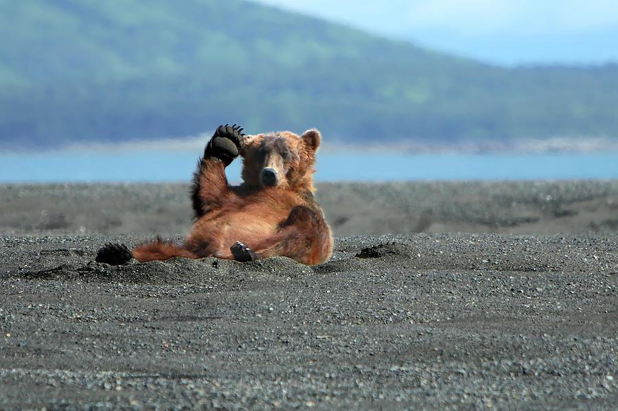 Alaskan Coastal Brown Bear Waving Photograph by Alan Vernon