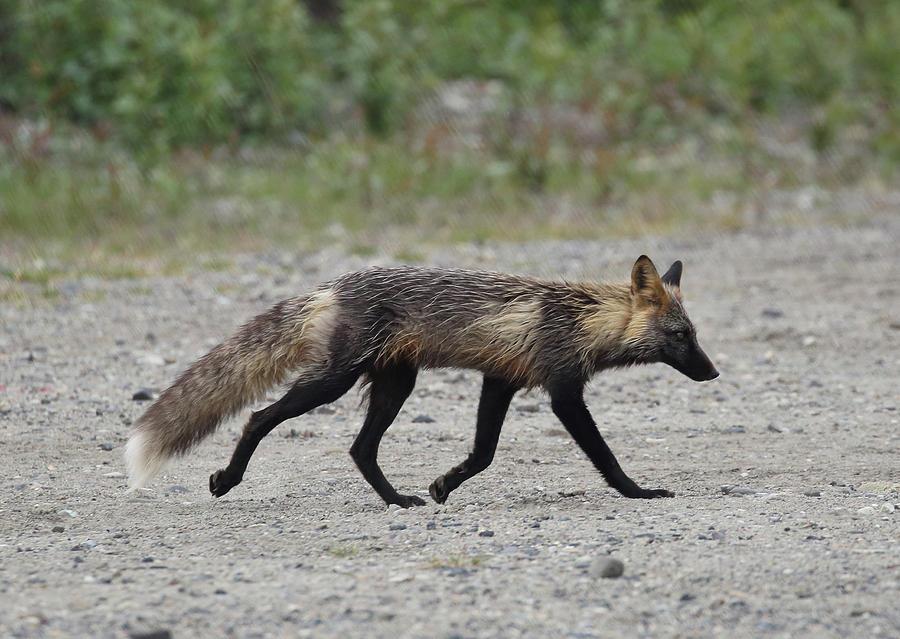 Alaskan Cross Fox by Jean Clark