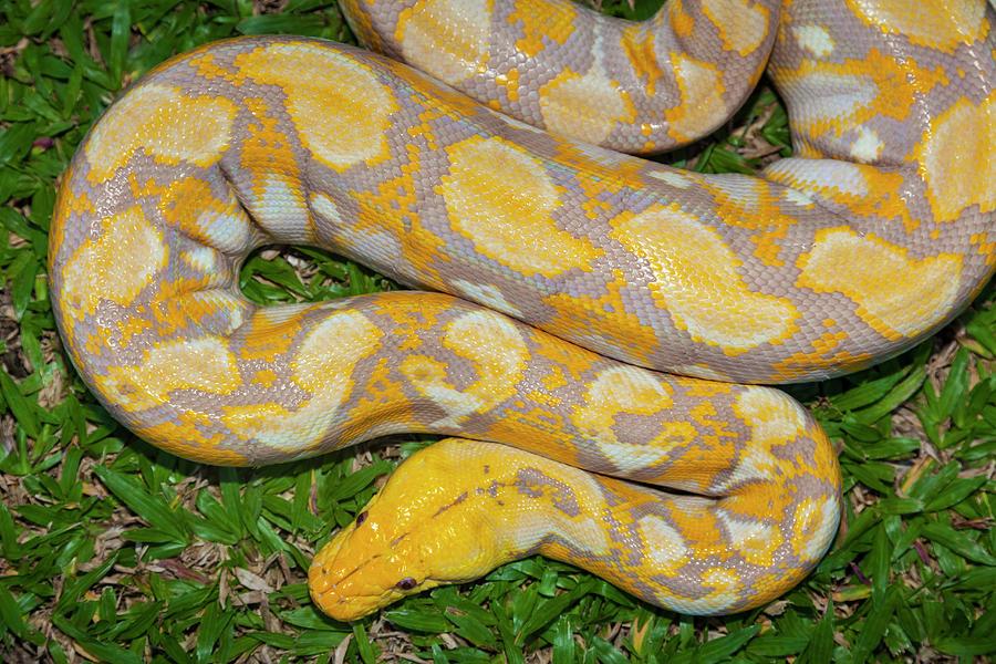 Albino Burmese Python Photograph by Stuart Dee