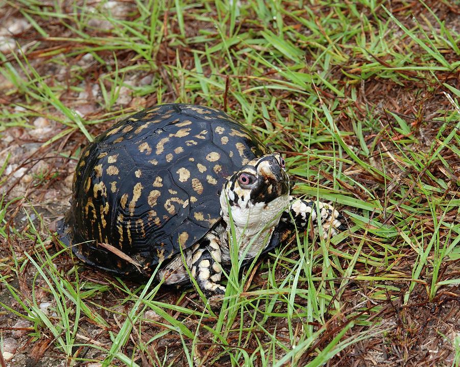 Albino Eastern Box Turtle Photograph