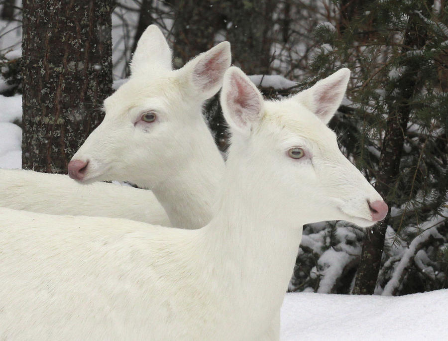 Albino White Tailed Deers Photograph by Photos By Michael Crowley