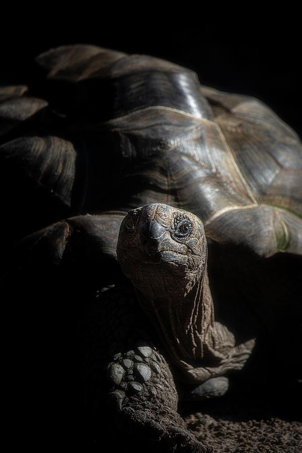 Aldabra Tortoise by Cyndy Doty