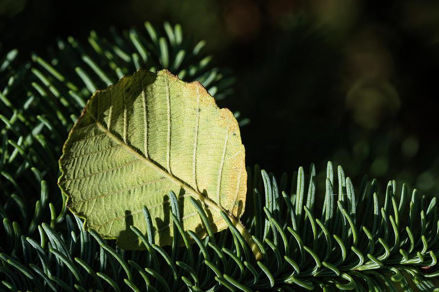 Alder Leaf and Fir by Robert Potts