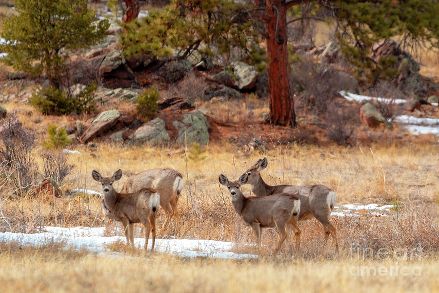 Alert Herd Of Colorado Deer Photograph