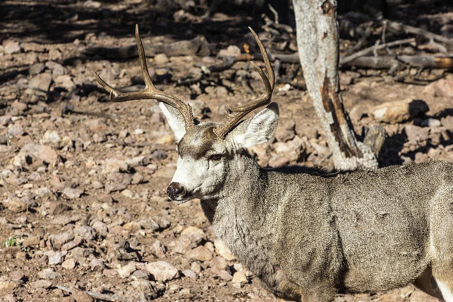 Alert Mule Deer Buck Photograph