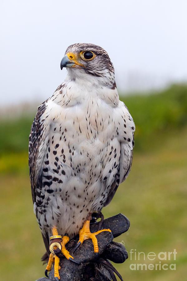 Alert Prairie Falcon by Alma Danison