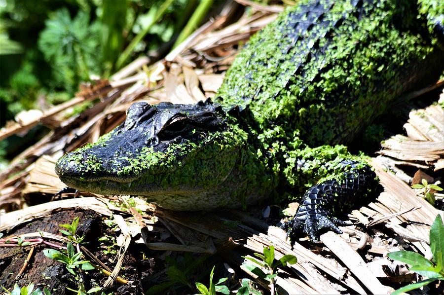 Algee On Gator  by Warren Thompson