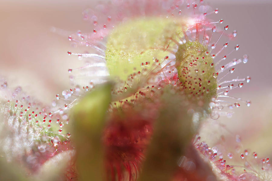 Alice Sundew Sparkling World 3 by Jenny Rainbow