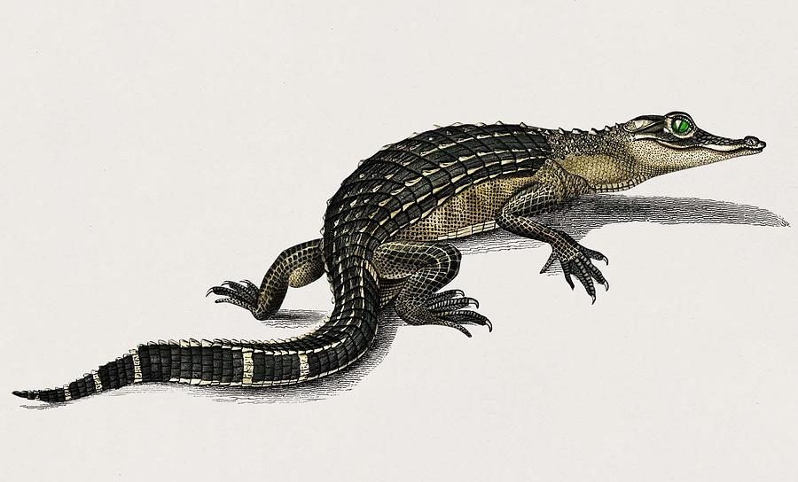 Animal Painting - Alligator  Alligator Incius Illustrated By Charles Dessalines D Orbigny  1806-1876  by Celestial Images