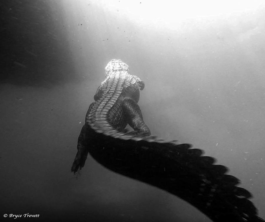 Alligator in black/white Photograph by Bryce Trevett