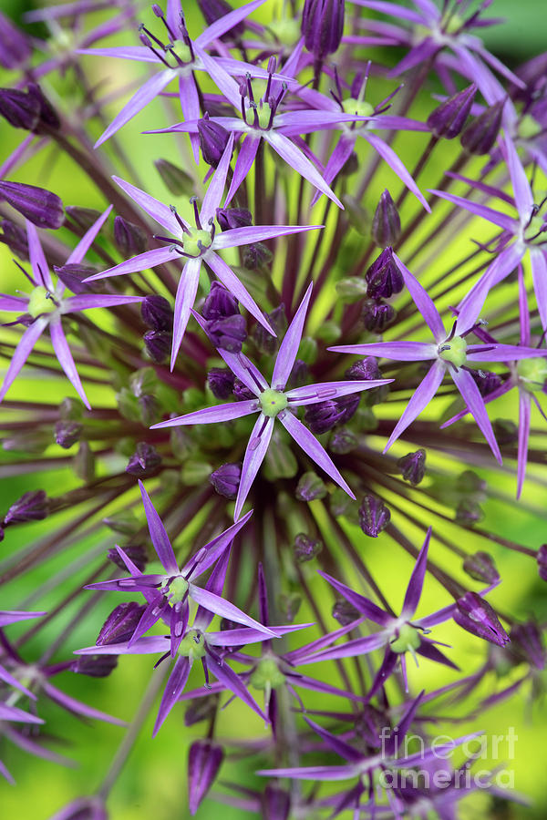 Allium Christophii Pattern by Tim Gainey