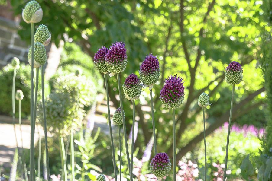 Allium in the Garden by Amy Sorvillo