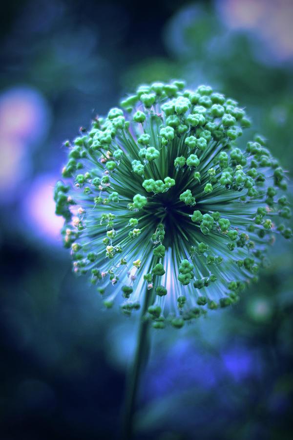 Allium Photograph - Allium Indigo by Jessica Jenney
