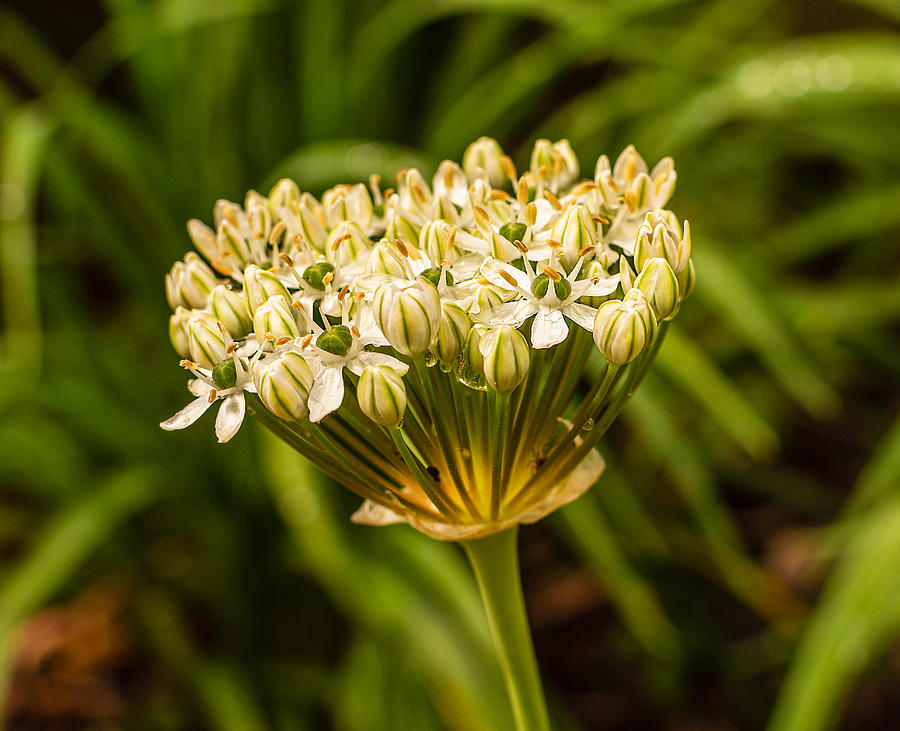 Allium by Keith Smith