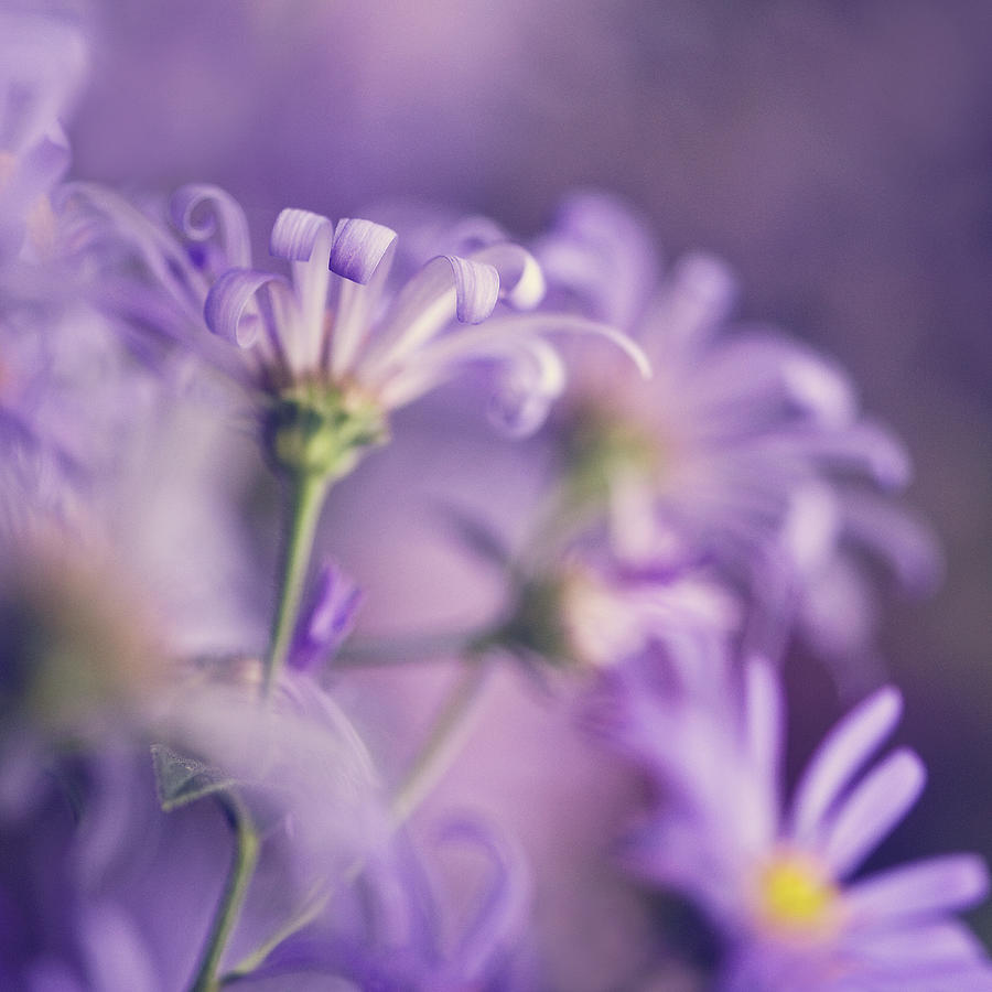 Alluring Asters Photograph by Jody Trappe Photography