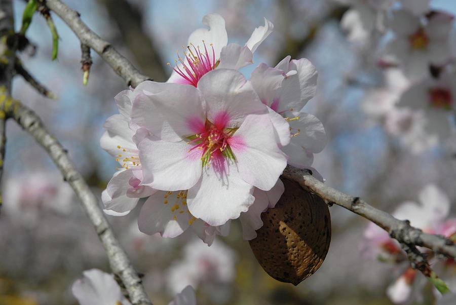Almond Blossom And Almond Nut. Spain Photograph by Josie Elias