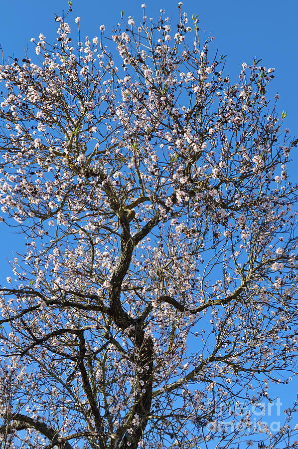 Almond Blossom by Angelo DeVal