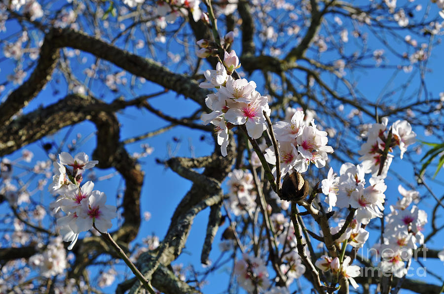 Almond Blossom Close-up by Angelo DeVal
