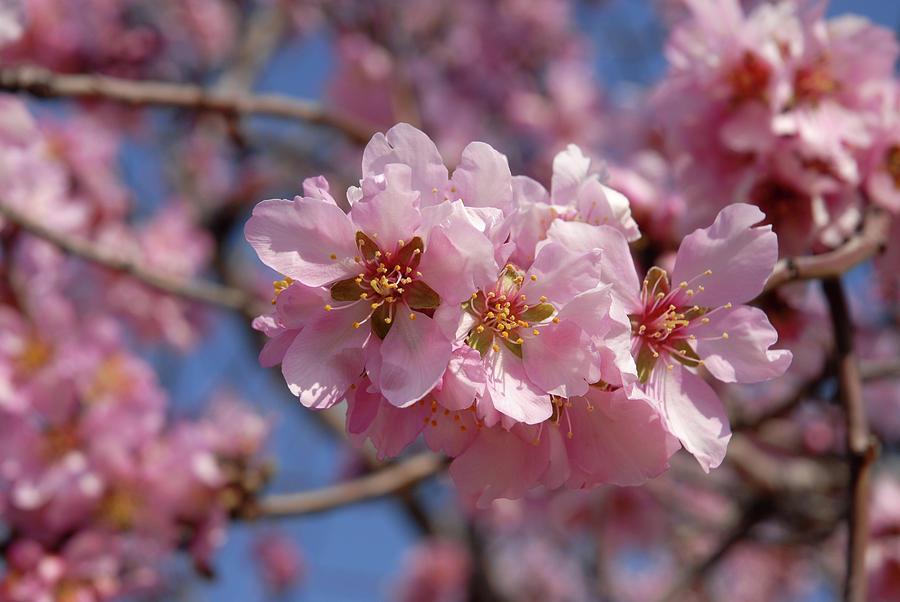 Almond Blossom. Spain Photograph by Josie Elias