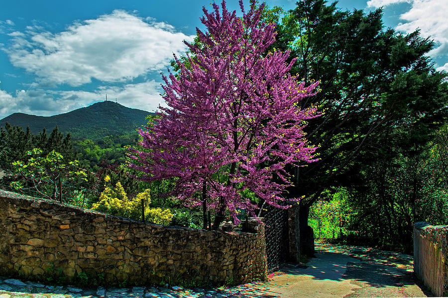 Almond Tree Blooming Along Stone Wall Photograph by Elfi Kluck