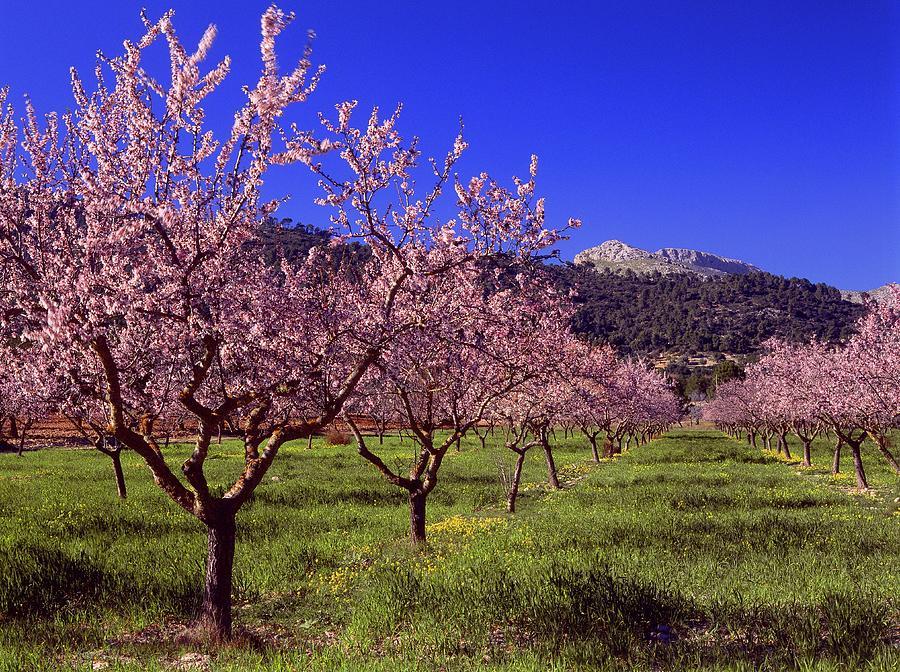 Almond Tree Blossom, Majorca, Spain Photograph by Juergen Richter / Look-foto