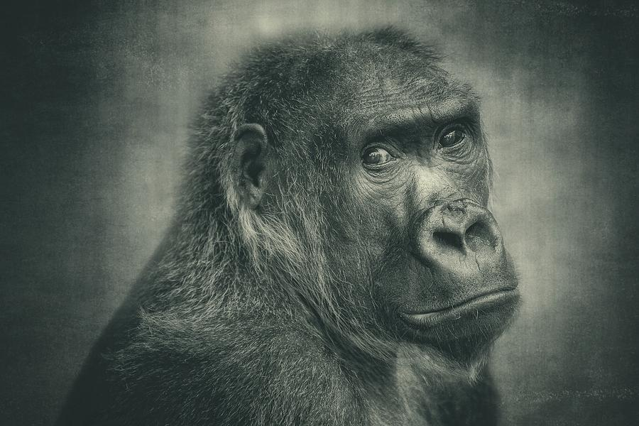 Gorilla Photograph - Almost One Of Us by Antje Wenner-braun