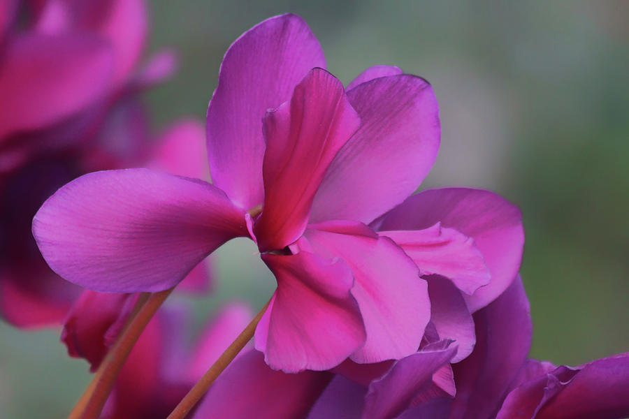 Almost Purple - Cyclamen by Nikolyn McDonald