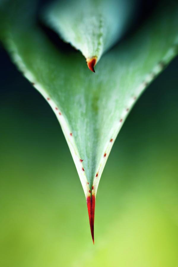 Aloe Thorn And Leaf Macro Photograph