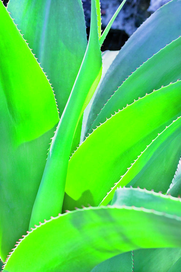 Aloe Vera Photograph by Flavio Vallenari