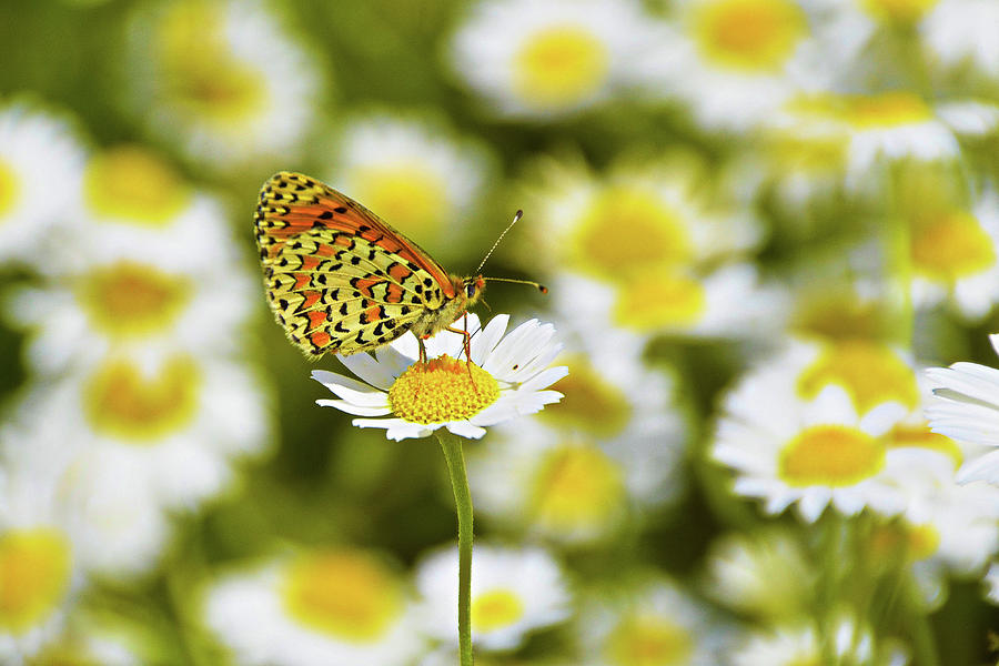 Alone in the Daisies by Darren Weeks