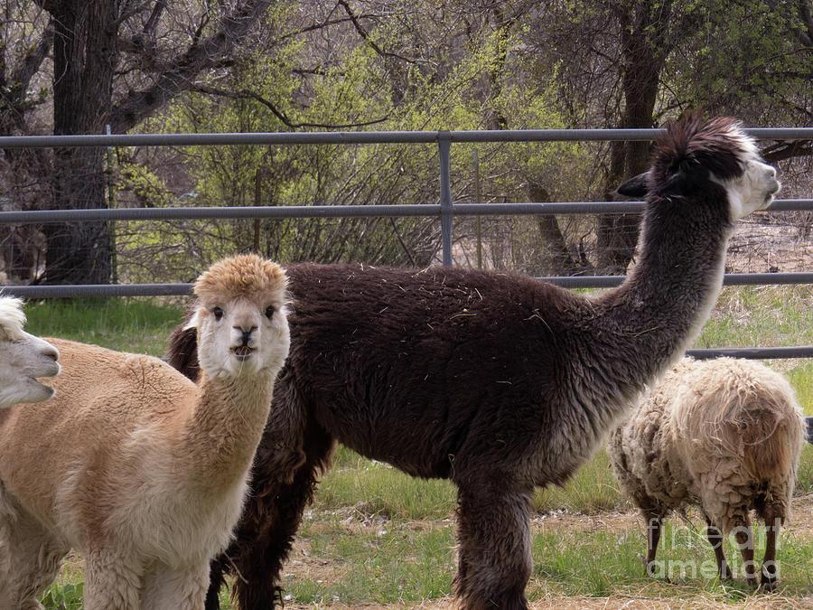 Alpacas Grazing by Christy Garavetto