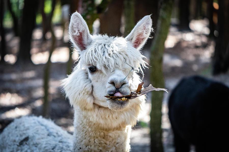Alpaca Chewing  by Joseph Caban