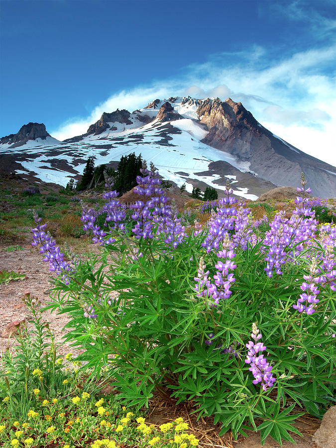 Alpenglow On Flowers And Mt. Hood Photograph by Kokophoto