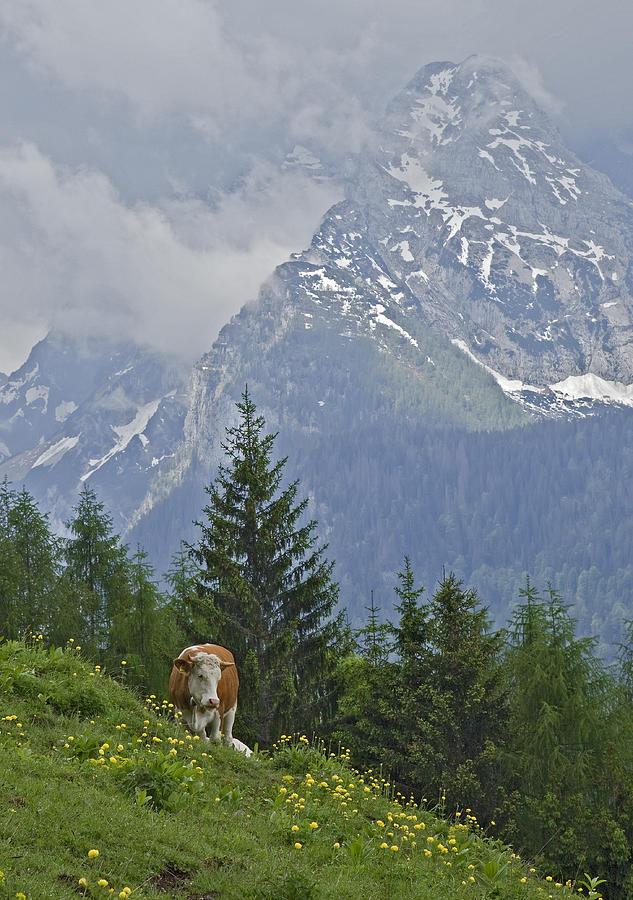 Alpine Cow Photograph by Photograph Taken By Nicholas James Mccollum