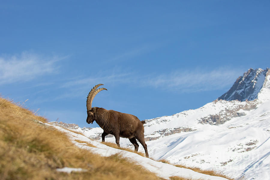 Alpine Ibex by Arterra Picture Library