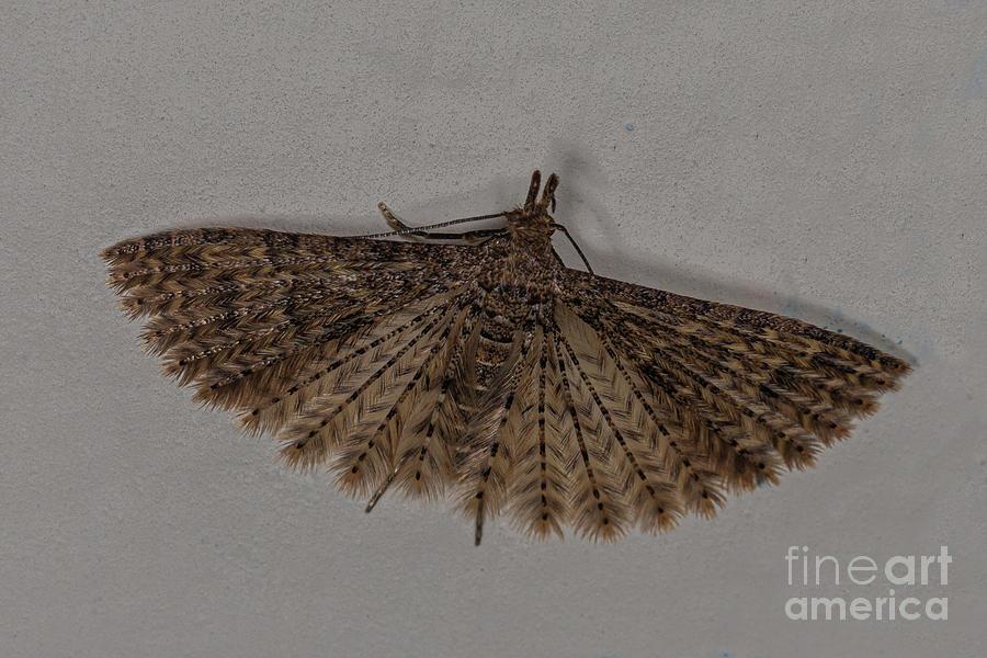 Alucita Moth by Brian Roscorla