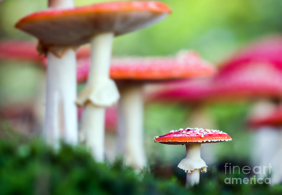 Magic Photograph - Amanita Muscaria, A Poisonous Mushroom by Sindlera