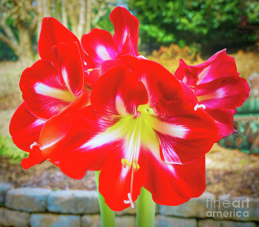 Amaryllis Beauty by Sue Melvin