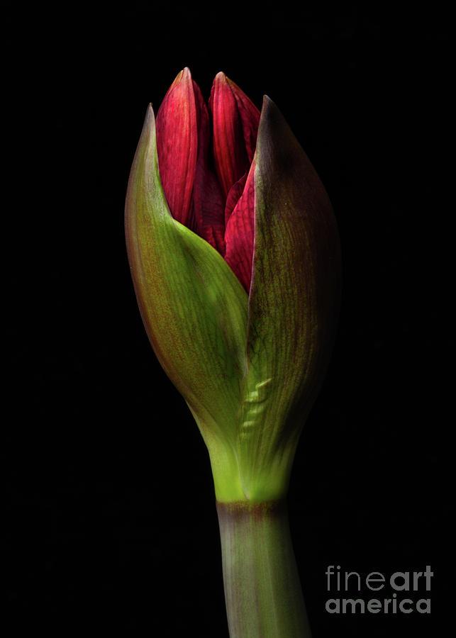 Amaryllis 'Merlot by Ann Jacobson