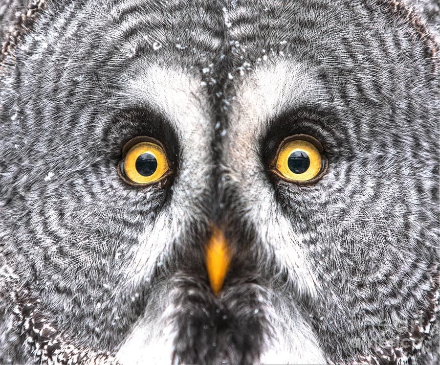 Feather Photograph - Amazed Great Grey Owl Hdr by Pics-xl