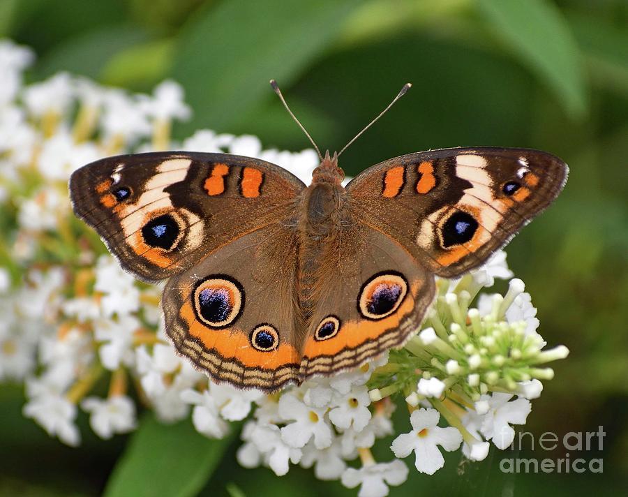 Amazing Beauty - Common Buckeye Photograph