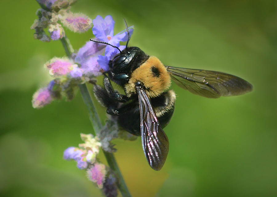 Bumble Bee Photograph - Amazing Bumble Bee  by Mary Lynn Giacomini